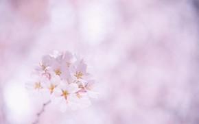 sakura, cherry, Flowers, White, pink, Petals, twig, bloom