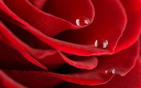 rose, dew, drops, petals, red