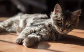 gatinho, gato, Deitado, andar, sol