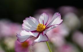 fiore, kosmeya, Macro, bianco, campo, frangia, confine