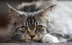 gato, gris, orejas, cepillar