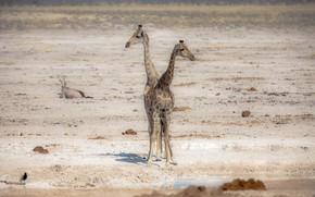 жирафы, природа, Африка