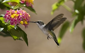 птица, колибри, цветы, нектар, солнечно, листья