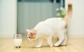кошка, стакан, молоко
