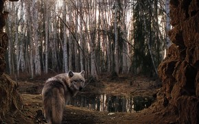 forest, Trees, wolf, cave, swamp