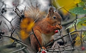 tree, branch, Berries, squirrel, fluffy, tail