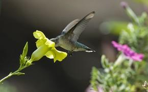 колибри, цветок, желтый, петуния, нектар