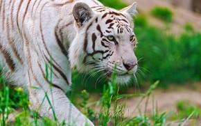 тигр, белый, морда, хищник, крадётся