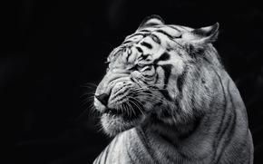 tygrys, to, Bestia