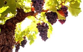 tree, foliage, grapes, Berries