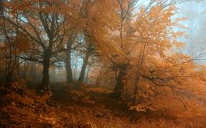 autunno, foresta, alberi, arancione, nebbia