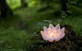 candela, loto, rosa, verdura, foresta