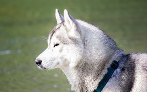 perro, Ronco, sueo