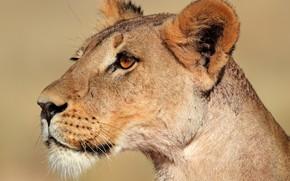 leonessa, predatore, wildcat