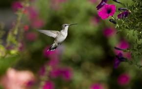 птица, колибри, цветы, петуния, фокус