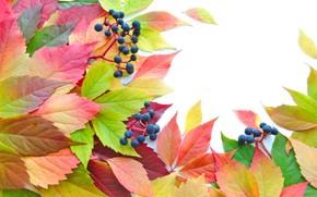 leaves, Berries, brightness, autumn