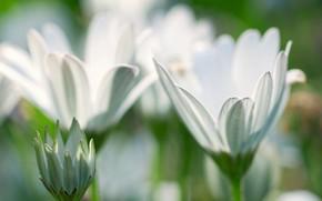 fiori, Petali, bokeh, tenerezza