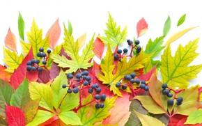 leaves, Berries, autumn, brightness