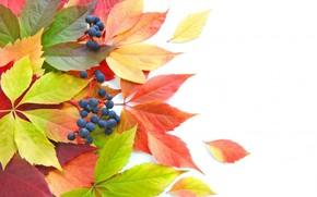 leaves, Berries, autumn