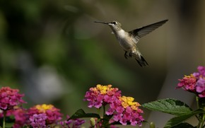 птица, колибри, цветы, зелень, солнечно