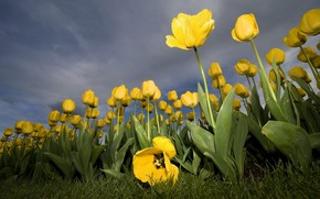 flower, tulip, yellow
