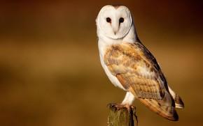 barn-owl, Owl, bird
