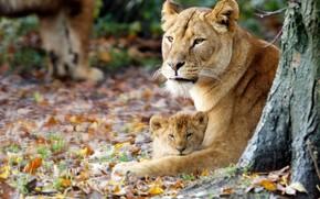 leonessa, giovane leone, maternit, autunno
