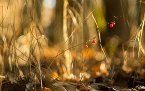Berries, nature, macro