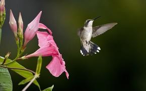 птица, колибри, цветок, размытость, розовый