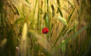 fiori, fiore, papavero, Papaveri, rosso, uno, campo, spighette