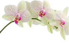 белая, орхидея, цветы, красота
