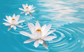 fiori di loto, Giglio, acqua