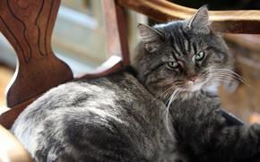 cat, gray, eyes, green, is