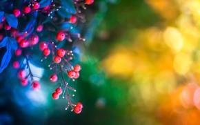 twig, Berries, leaves, background