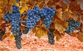 grapes, Berries, bunch, leaves, macro, Bubenko