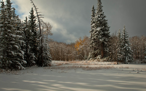 clouds, coniferous, snow, Winter, Trees, spruce