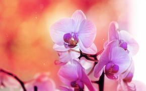 орхидея, розовый, оранжевый