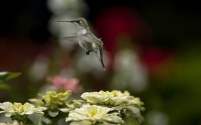 птица, колибри, полет, цветы, природа, размытость