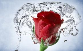 rosa, germoglio, acqua, Macro