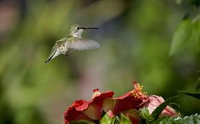 колибри, птица, цветы, гибискус, фокус, размытость, зелень, природа