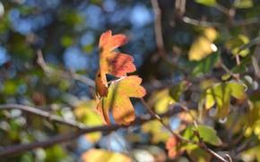 макро, листики, смородина, желтые, осень, красочно
