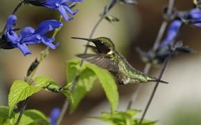 колибри, птица, солнечно, цветы, полевые