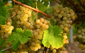grapes, white, clusters, vine, leaves
