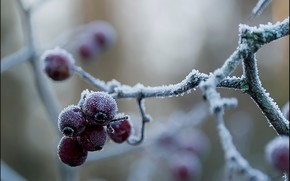 Berries, red, frost