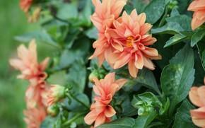 цветы, георгин, розовые, листья, куст