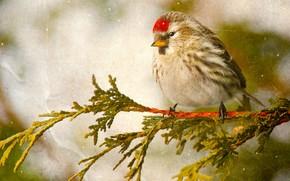 птица, чечётка, ветка