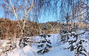 Зима, Снег, Деревья, Ветки, Березы