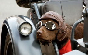 Hund, Rasse, Maschine, Brille