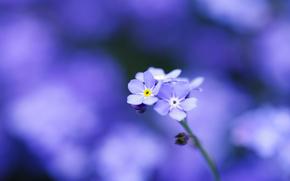 dimenticare-me-, blu, fiori, Petali, Macro, tenerezza, sfocatura, mettere a fuoco