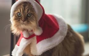 костюм, Кошки, животное, глаза